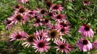 Pink Echinacea flowering video