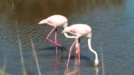 Pink Flamingo in Camargue - France video