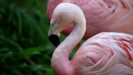 Pink Flamingo video