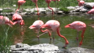 Pink flamingos are grooming and drinking from pond (High Definition) video