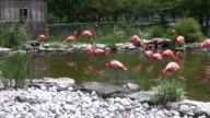 Pink flamingos are walking and drinking from pond (High Definition) video