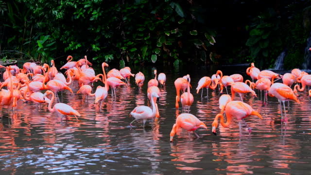 Pink flamingos in group video