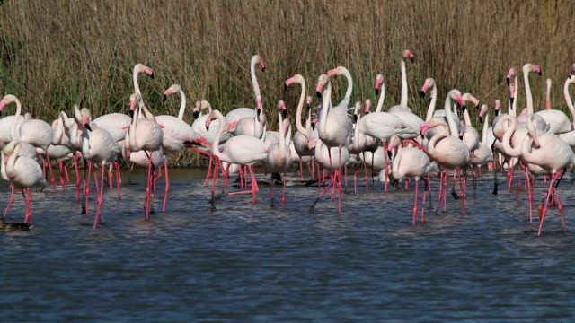 Pink flamingos in the lake video