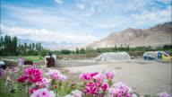 Pink Flower In Nature At Leh Village, Ladakh, India video