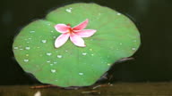 pink flower on lotus. Floating in pool. video