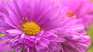 Pink flower with dew video