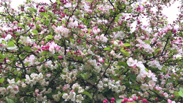 Pink Flowers Blooming Peach Tree video