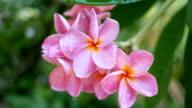 Pink Flowers Frangipani video