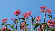 Pink Flowers Frangipani with blue sky video