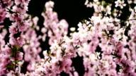 Pink flowers in Spring video