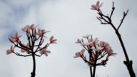 pink flowers plumeria with  sky and cloud video