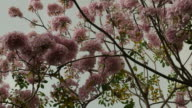 Pink flowers Tabebuia rosea blossom on tree video