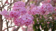 Pink flowers Tabebuia rosea blossom video