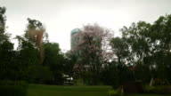 Pink flowers Tabebuia rosea blossom with tower background video