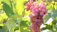 pink grape harvest video