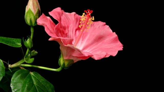 Pink Hibiscus Time Lapse video