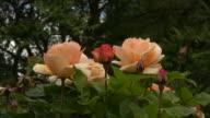 Pink Irish rose 12 video