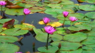 Pink lotus blossoms video