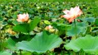 Pink Lotus video