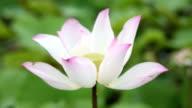 Pink lotus water lily video