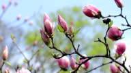 pink magnolia bud video