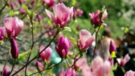 pink Magnolia flowers on tree branch video