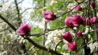 pink magnolia flowers video