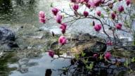 Pink Magnolia over stream video