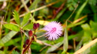 pink mimosa pudica flower video