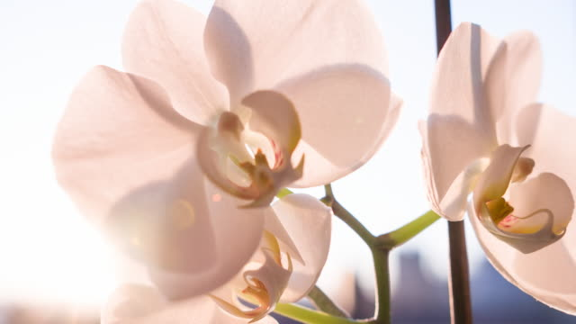 Pink orchid blossoms video