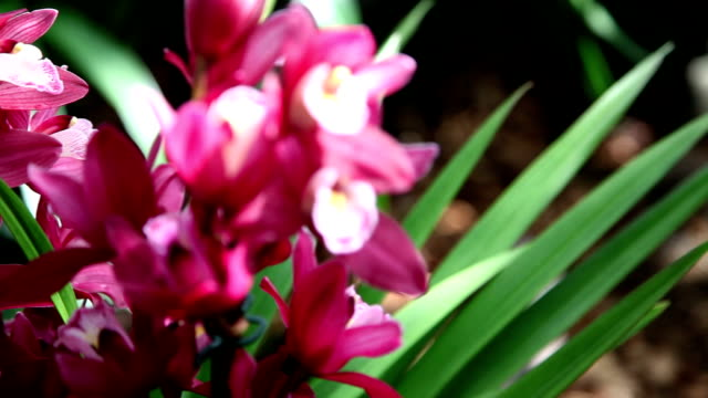 HD CLOSE UP: Pink orchids video