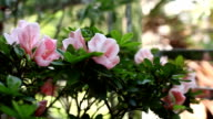 Pink peach tree flower blossoming video