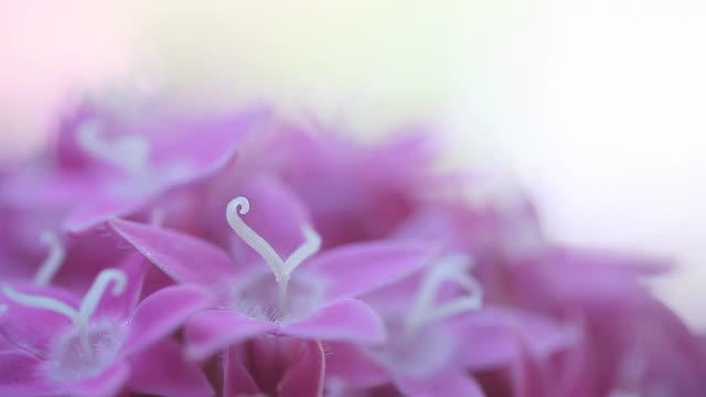pink pentas flowers closeup video