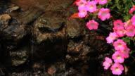 pink petunias video