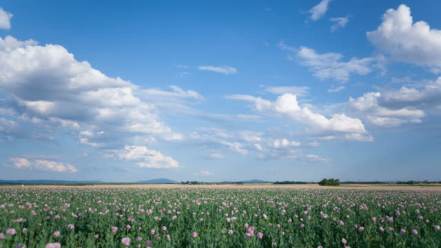 Pink poppy field; Time Lapse video