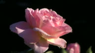 Pink rose against dark background video