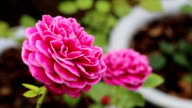pink rose blooming in the garden video