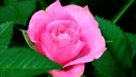Pink rose blooming video