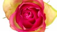 Pink Rose Close Up video