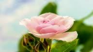 Pink rose flower growing timelapse video