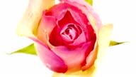 Pink Rose video