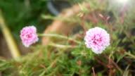 Pink Rosemoss flower in garden video