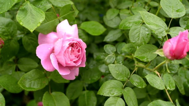 pink roses with water drops video