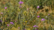 Pink thistle flowers in the wind tremble in the wind video
