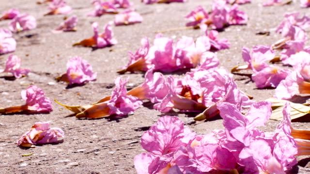 Pink trumpet tree flower fall on road under morning sunlight video