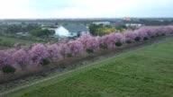Pink trumpet tree Tabebuia rosea blossom in Kamphangsean, Nakornpathom, Thailand video