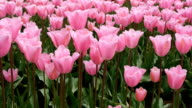 Pink tulips - dolly shot video