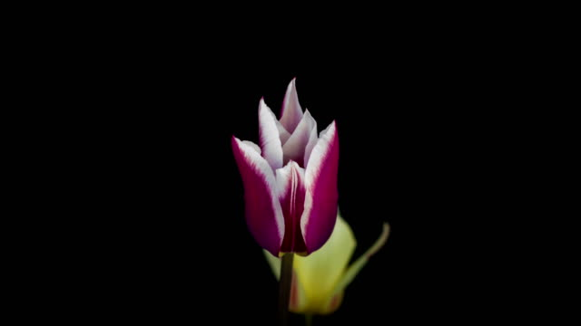 pink tulips on black background video