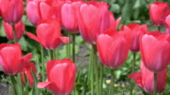 Pink tulips. video