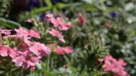 DOLLY: Pink verbena flowers on a ground in a garden video